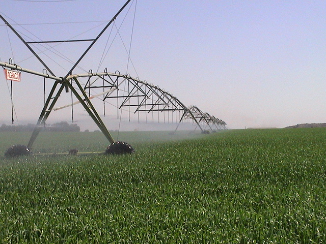 Wheat under pivot irrigation
